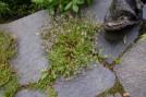 Thyme in Walkway